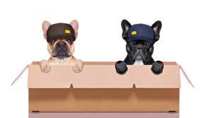 Bilder Hunde Weißer hintergrund Schachtel Zwei Bulldogge Baseballcap Lustiger Tiere