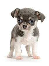 Pictures Dogs White background Puppy Chihuahua