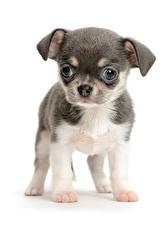 Hintergrundbilder Hunde Weißer hintergrund Welpen Chihuahua