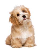 Wallpaper Dogs White background Puppies Glance Animals