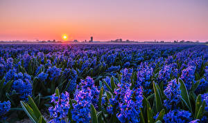 Fotos Felder Sonnenaufgänge und Sonnenuntergänge Hyazinthen Viel Hellblau Sonne Blumen