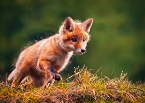 Image Foxes Cubs Grass Staring animal