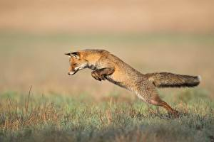 Pictures Foxes Grass Jump Animals