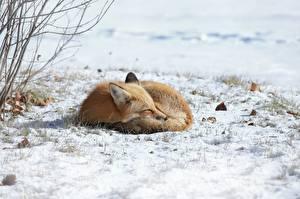 Bilder Füchse Schnee Schlafende Hinlegen ein Tier