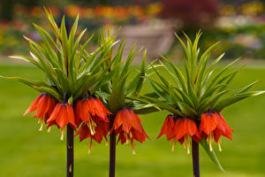 Image Fritillaria Red Flowers
