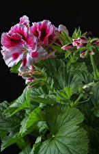 Image Geranium Closeup Black background Leaf Flower-bud Flowers