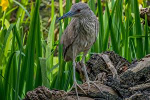 Fotos Reiher Pfote Night Heron