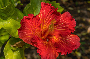 Pictures Hibiscus Closeup Red Flowers