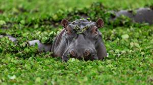Sfondi desktop Ippopotami Testa Palude Foglie animale