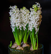 Wallpaper Hyacinths Closeup Black background White Flowers