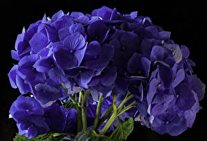 Pictures Hydrangea Closeup Black background Blue flower