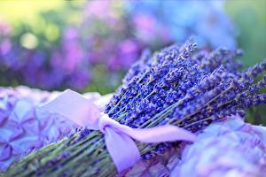 Picture Lavandula Closeup Bouquets Bow knot flower