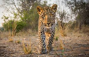 Picture Leopards Cubs Staring Animals