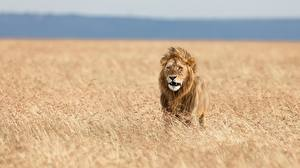 Bilder Löwe Acker Afrika