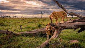 Wallpapers Lions Lioness Africa Trunk tree Grass Animals Nature