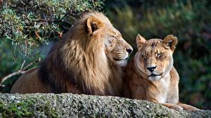 Fotos Löwe Löwin 2