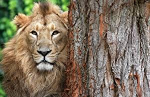 Fotos Löwe Schnauze Baumstamm Tiere