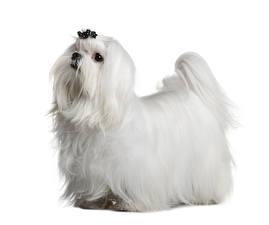 Hintergrundbilder Malteser Hunde Weißer hintergrund Weiß Tiere