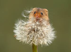Wallpapers Mice Dandelions Closeup Colored background Eurasian harvest mouse animal