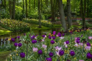 デスクトップの壁紙、、オランダ、公園、春、池、チューリップ、木、Keukenhof Gardens、自然