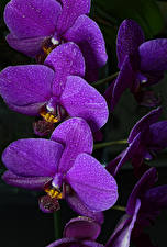 Pictures Orchid Closeup Black background Violet Flowers