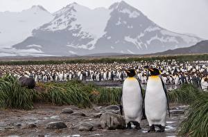 Images Penguins Many Antarctica King penguin Animals