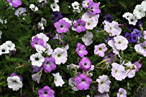 Pictures Petunia Closeup Flowers