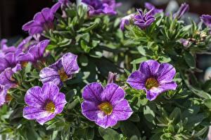 Bilder Petunien Hautnah Violett Blüte