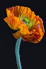 Bilder Mohn Nahaufnahme Schwarzer Hintergrund Orange Blumen