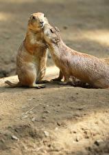 Hintergrundbilder 2 Umarmung Prairie Dogs Tiere