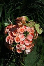 Fotos Rosen Anthurium Rosa Farbe