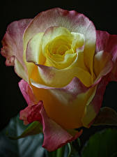 Bilder Rose Großansicht Schwarzer Hintergrund Blüte