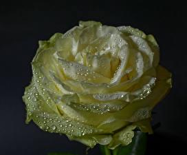 Fotos Rose Großansicht Schwarzer Hintergrund Tropfen Blumen
