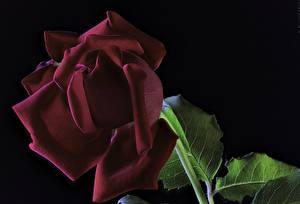 Bilder Rosen Nahaufnahme Schwarzer Hintergrund Dunkelrote Blumen