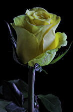Image Roses Closeup Black background Yellow flower