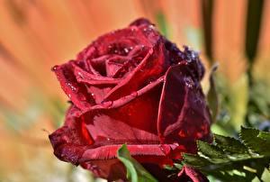 Desktop hintergrundbilder Rosen Großansicht Rot Tropfen Blumen