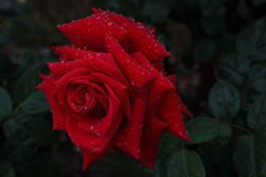 Bilder Rosen Nahaufnahme Rot Tropfen Blumen