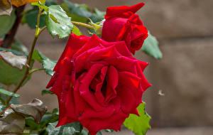 Hintergrundbilder Rosen Nahaufnahme Rot Zwei Blüte