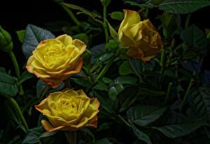 Fotos Rosen Großansicht Drei 3 Gelb Blumen