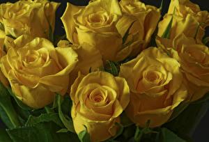 Bilder Rosen Großansicht Gelb Blumen