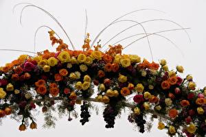 Hintergrundbilder Rosen Weintraube Weißer hintergrund Blumen
