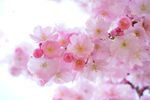 Pictures Spring Flowering trees Closeup Pink color Sakura Nature