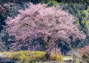 Bilder Frühling Blühende Bäume Japanische Kirschblüte Natur