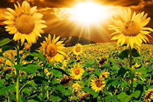 壁纸、ひまわり、朝焼けと日没、畑、光線、花、