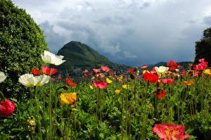 壁纸、、スイス、山、畑、ケシ属、Lugano、