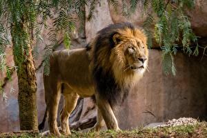 Bilder Tiger Tiere