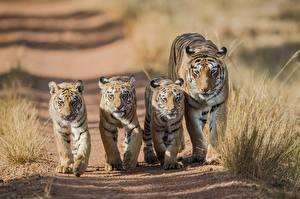 Hintergrundbilder Tiger Jungtiere 5