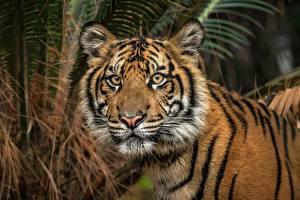 Fotos Tiger Starren