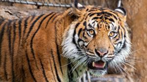 Bilder Tiger Starren Schnauze Tiere