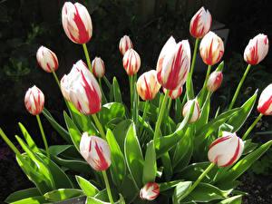 Hintergrundbilder Tulpen Nahaufnahme Blumen